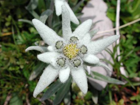 Edelweiss, la flor nacional de Suiza