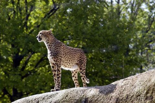 Guepardo en el Zoologico de Basilea